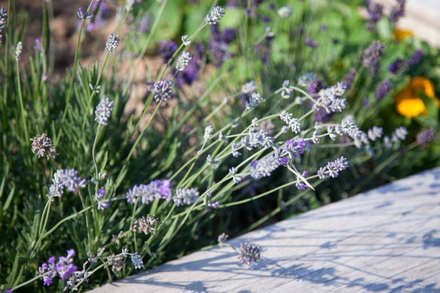 Shop Garden - Lavender